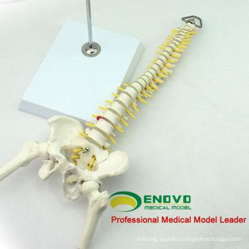 SPINE08 12381 Medical Science Table Display Flexible Spine Skeleton Education Model Pelvis and Half Leg