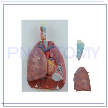 PNT-0430 high quality teaching human respiratory movement model for sale