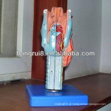Modelo anatômico da Laringe ISO, modelo de Laringe Médica, modelo de laringe humano ampliado