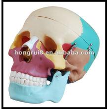 Crânio humano de tamanho natural com ossos coloridos, modelo de crânio