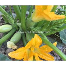 SQ16 Cuty sehr frühe Reife Baby Pick Hybrid Kürbis Samen