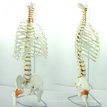 SPINE07 (12380) Medical Science Life-Size Sternum with Fumer for Medical School Education