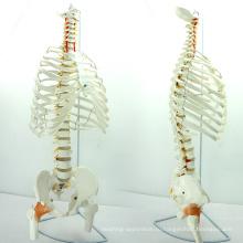 SPINE07 (12380) медицинской науки в натуральную величину грудины с Fumer для медицинского образования