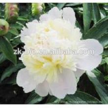 Extracto de raíz de peonía blanca de la fábrica, Radix Paeoniae Alba