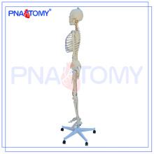 Modèle squelette de PNT-0104, squelette artificiel, modèle d'anatomie de squelette