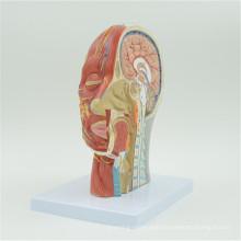 Customize anatomy brain model