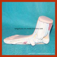 Modèle de pied anatomique humain Modèle de pied anormal (pied plat) Modèle