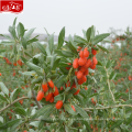 2017 llegada nueva venta al por mayor nueva cosecha de polvo de goji