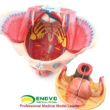Оптовая анатомии таза 12626 Размер жизнь 4 части анатомии женского медицинского модель таза