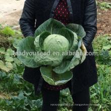 C10 Chunqiu no.001 sementes de repolho redondas de maturação precoce