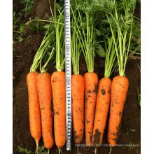 HCA07 Loko 22 to 24cm in length,Op carrot seeds in vegetable seeds