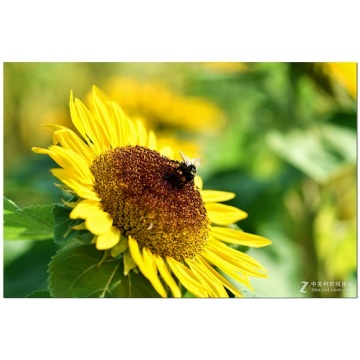 EU BIO CERTIFIED fresh organic sunflower honey