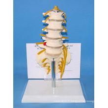 Anatomie humaine Squelette vertébrale lombaire aux nerfs (R020806)