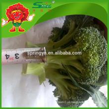 Brócoli de alta calidad del IQF