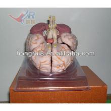 Modelo de Anatomia de cérebro ISO Deluxe, modelo de cérebro humano