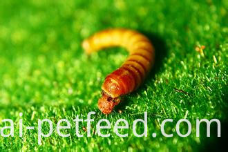 Mealworm for Poultry