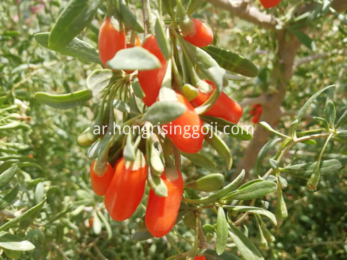 fresh goji berry tree 2