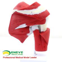 MUSCLE13 (12037) Modelo natural do tendão do músculo da articulação do ombro do tamanho da vida para a orientação 12037 da aptidão
