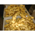 High Quality New Crop Fresh Ginger for Sale
