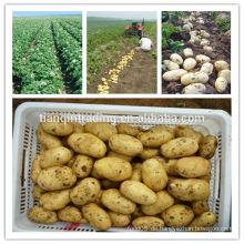 Kartoffel / frische Kartoffel / Holländer Kartoffel / der niedrigste Kartoffelpreis