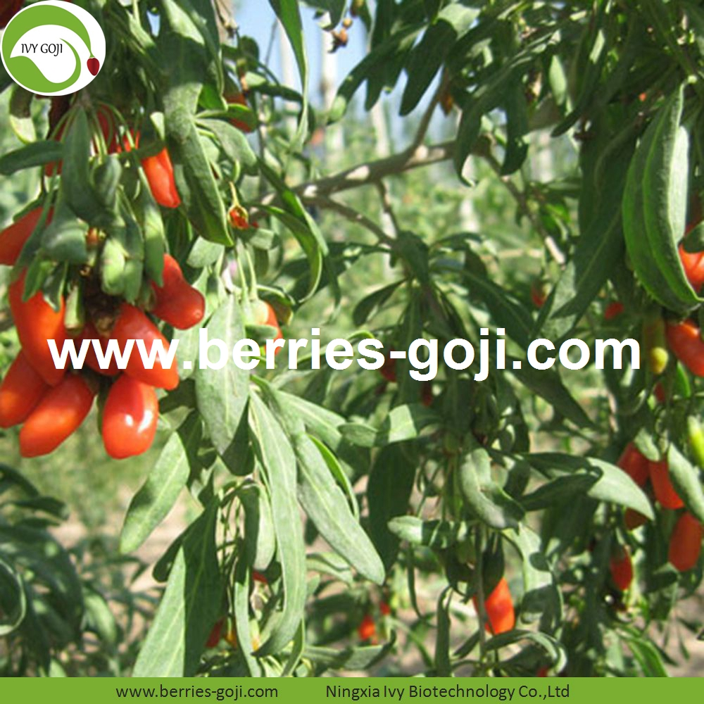 Goji berry contains abundant lycium polysaccharide, beta-carotene, vitamin E, selenium and flavonoids and other antioxidant substances, which have a good antioxidant effect. Goji berry can fight free radical oxidation, reduce free radical peroxide damage, which can help delay aging and prolong life.