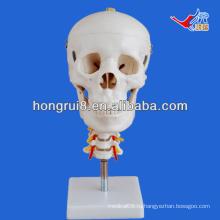 Модель черепа ISO с шейным позвоночником, анатомическая модель черепа