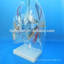 VENTES CHAUDES Modèle de segment pulmonaire transparent anatomique humain transparent poumon