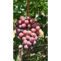 good farm fresh fruit grape on sale sweet red grape seeded grape