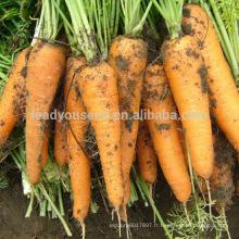 CA01 Lianji cinq pouces minces graines de carotte de kuroda à vendre