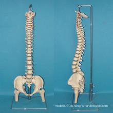 Menschliche Wirbelsäule Skelett Anatomie Modell für medizinische Lehre (R020711)