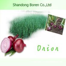 New Season Fresh Red Onion
