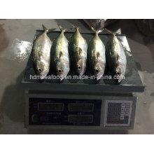Новая рыба индийская скумбрия (150-200г)