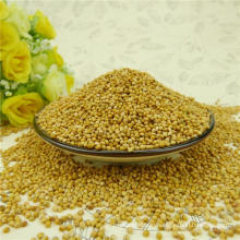 Pure yellow millet in husk for bird