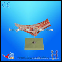 Muscles of foot with main vessels and nerves, medical anatomical models foot model