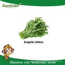 Suntoday Asian Gemüse F1 Bio Garten Rucola Argula Salat Lactuca Sativa Samen (32004)