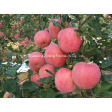 Chinese Fresh FUJI Apple for Exporting