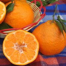 New crop baby mandarin oranges price