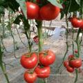 T08 hibrido tomate hibrido chino vegetales semillas para a venta