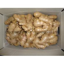 Supply Ginger Around The Year