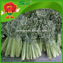 Vegetales nutritivos IQF apio en escabeche fresco