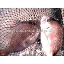 Red Seabream Fish