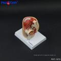 PNT-1570 mini modelo masculino da pelve, modelo pélvico Deluxe da cavidade