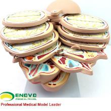 BRAIN01 (12398) Horizontal Seção 12 pcs Cabeça Humana Modelo de Anatomia CTMRI para Estudo Sursery Decorativo