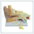 PNT-0670 Enlarged high quality Human Ear model