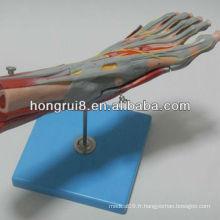 ISO Muscles Modèle de pied avec des navires et nerfs principaux