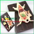 A01(12001) Anatomy Animal 6-Parts Rat Mouse Model w/ Removable Organs 12001