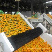 Qualidade padrão da exportação do bebê fresco mandarino