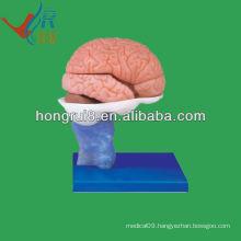 Life size PVC material human brain anatomical model