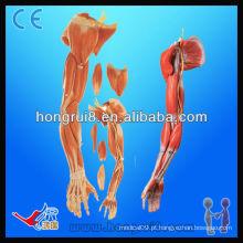 Modelo Anatômico ISO dos Músculos dos membros superiores