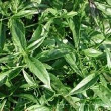 Andrographis Paniculata Extrait Andrographolide 98%